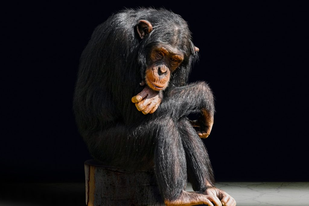 A seated chimpanzee stares at the floor as if bored with everything.