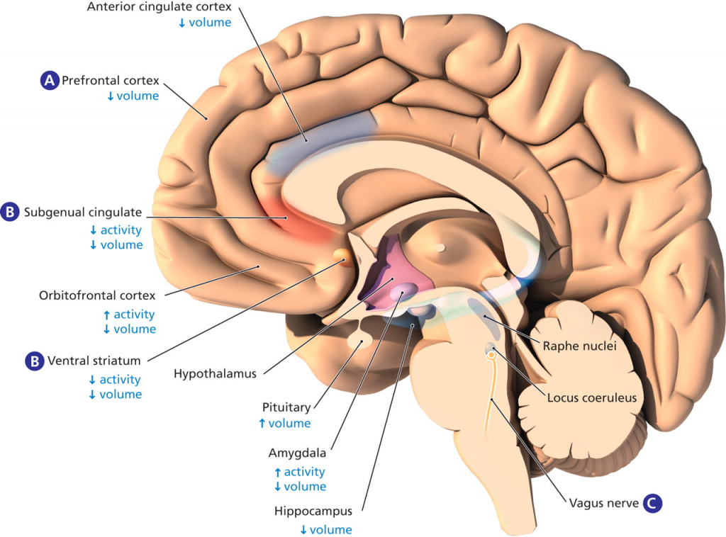 Mid-Sagittal Section Emphasizing Cingulate Cortex