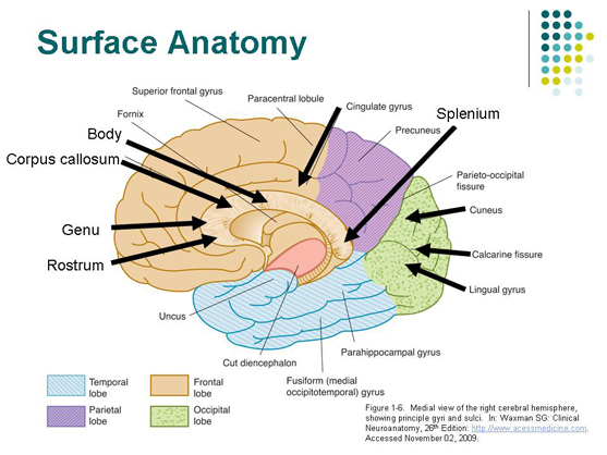 Shows mid-sagittal section of human brain.