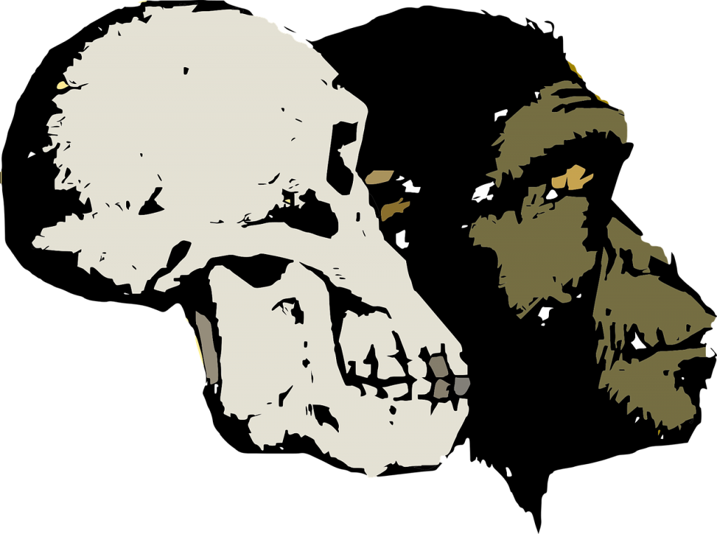 Two primate skulls are shown.