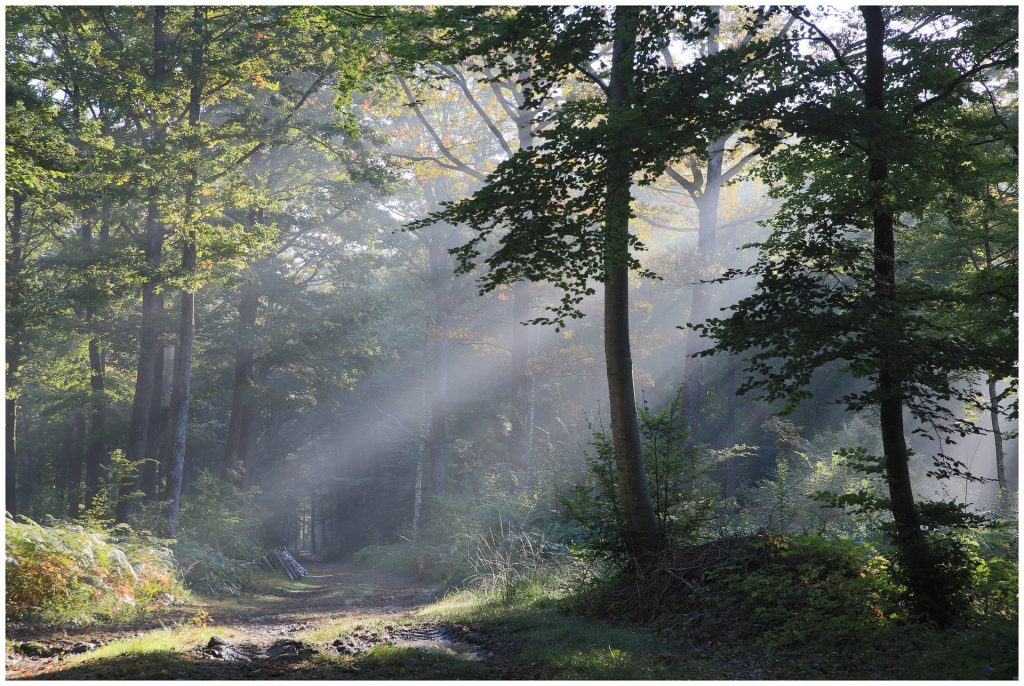 Sunbeams shining through a forest