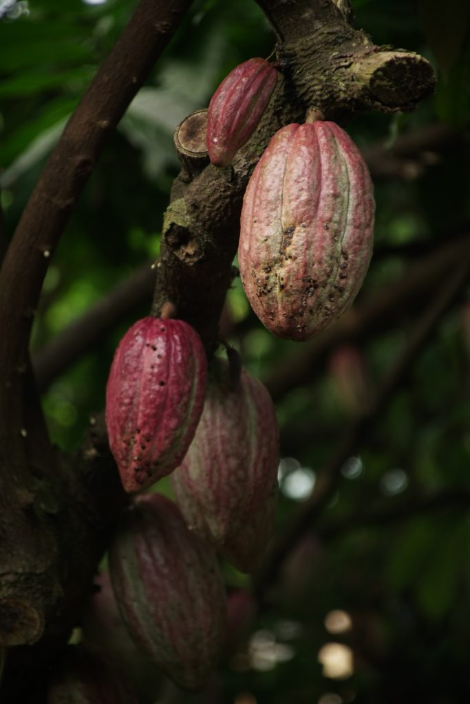 Cocoa pods on a cacao tree are shown.
