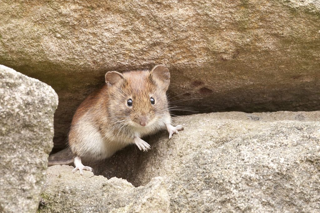 A mouse is shown in a rocky setting, perhaps a stone wall.